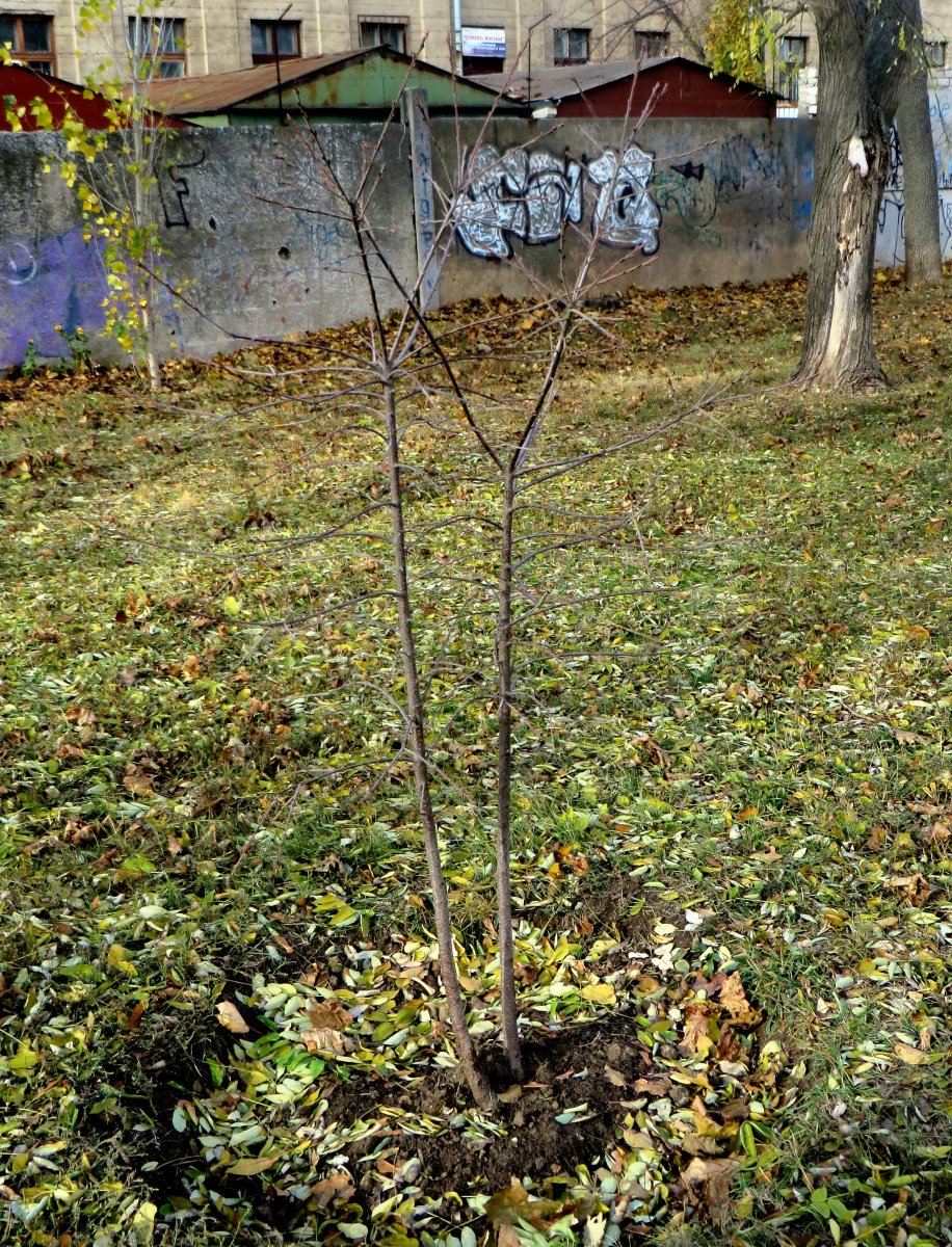 """""""озеленители"""" умудрились в одну лунку посадить два дерева"""