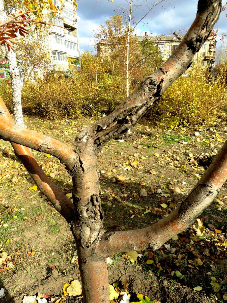 в таком состоянии находятся молодые деревья в скверах