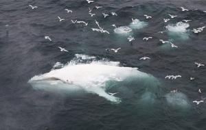 Единственный в мире белый горбатый кит замечен у побережья Австралии