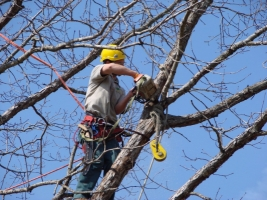 Предприятие экс-депутата Николаевского горсовета заработает полмиллиона гривен на сносе и обрезке деревьев