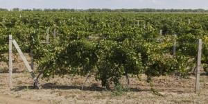 Виноградники Херсонщины получили 5,8 млн гривен
