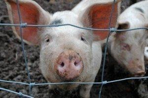 Африканская чума свиней в Николаевской области: не хватает даже дров для сжигания трупов