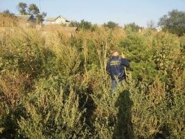 В Николаевской области полиция выявила 1000 кустов конопли более чем на 1 млн. грн.