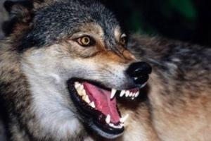 Пользуясь отсутствием освещения, Алушту терроризируют волки