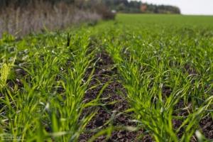 В Украине погибло 800 тысяч гектаров озимых