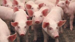 В Николаевской области из-за вспышки африканской чумы уничтожили более 300 свиней