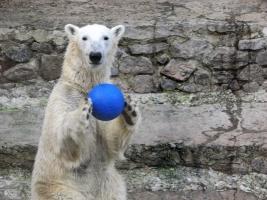 Как зимой белые медведи развлекаются в Николаевском зоопарке (ВИДЕО)