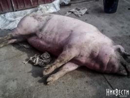 В Николаев по дешевке продали зараженных африканской чумой свиней