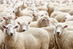 В пропаже 25 тысяч литров дизельного топлива виноваты… Овцы!