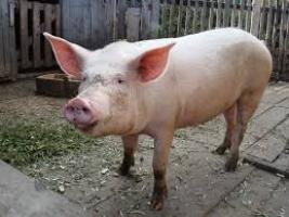 На Черниговщине свинья заболела африканской чумой