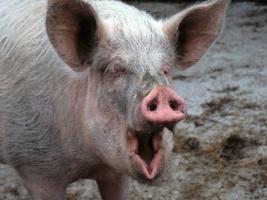 Украина увеличила экспорт свинины