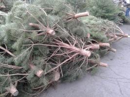 В Николаеве обнаружили незаконную продажу елок