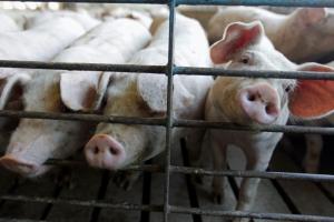 В Николаевской области обнаружена африканская чума свиней