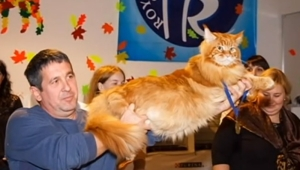 11-килограмовый кот Кекс из Днепра признан самым большим котом в Украине (ВИДЕО)