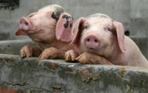 В Николаевской области зафиксирована вспышка африканской чумы свиней