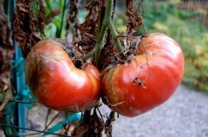 В Херсонской области эксперты прогнозируют потерю до 40% урожая томатов