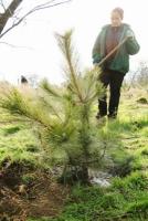 В Одессе вдоль Трассы здоровья высадили 100 крымских сосен