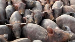 Власти Севастополя хотят пересчитать всех свиней