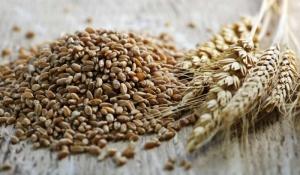 Из-за дождей на Херсонщине портится качество зерна