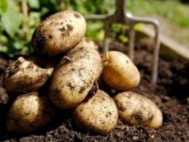 Аномальная жара в Украине негативно сказалась на урожае картофеля