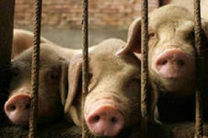 Из-за свиней Россия частично закрыла границу с Украиной