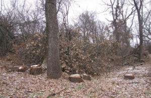 В Одесской области неизвестные вырубают лес