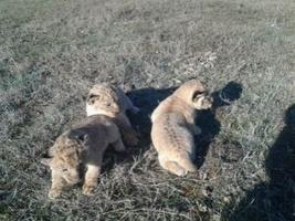 Сафари-парк на Херсонщине пополнился редкими львятами