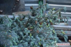 В Николаеве на незаконной строительной площадке уничтожили голубые ели