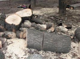 В центре Николаева без разрешения спилили здоровые ясени