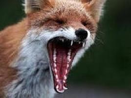 Хозяйства Николаевской области снова атакуют бешеные лисицы