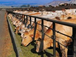 Государство предусмотрело 250 млн. грн. на развитие животноводства в Украине