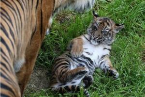В николаевском зоопарке родился тигренок (ВИДЕО)