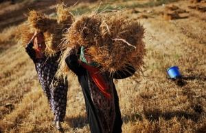 Ранние зерновые на Херсонщине уже собрали