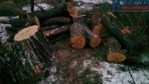 В Березанском районе вырубают лесополосы при попустительстве главы района – депутат облсовета